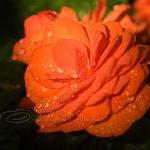 Flower Photo, Begonia photo..