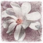 White magnolia flower photo..