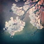 Cherry blossoms Spring phot..