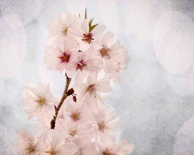 "White blossoms spring photo cherry home decor pink 8x10"" print"