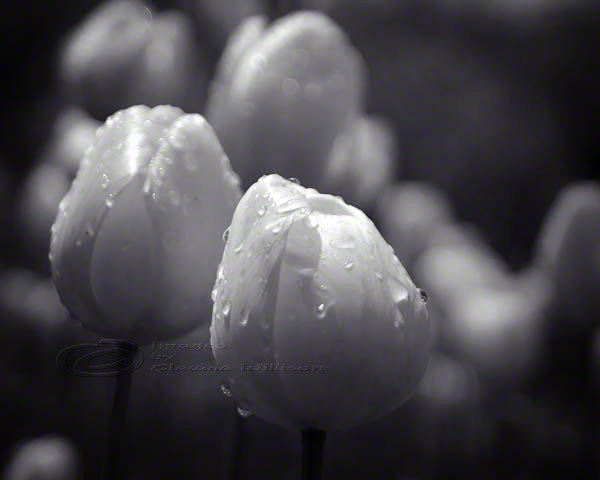 Tulip photo flower close up black & white raindrops 8x10&quot; print