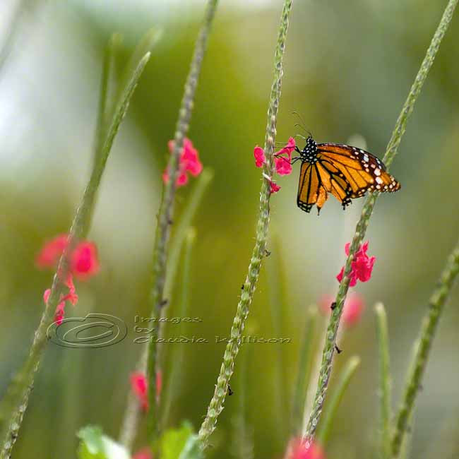 "Butterfly photo, nursery art, flower photo, green, pink, orange, 8x8"" print"