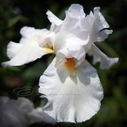 Flower Photo, iris photo, macro photo, white dream, 10x10""