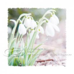 "Flower Photo, snowdrops, dreamy white spring photo, easter, 8x8"" print"