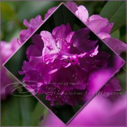 Flower Photo, spring time, purple photo, pink light shade contrast, 5x5&amp;quot; print
