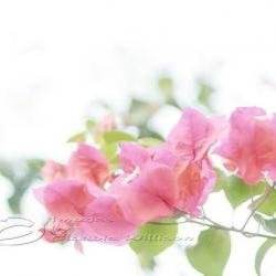 Flower Photo, bougainvillea pink white light dreaming, 5x7""