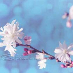 "Spring photo home decor white blossom pink dream fine art 11x14"" print"