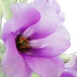 Flower Photo, macro photo, purple dreaming, spring time, bloom 8 x10""
