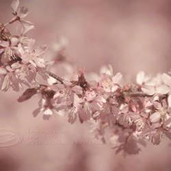 Spring photo cherry blossoms home decor pale pink 8x12&amp;quot; print