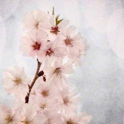 White blossoms spring photo cherry home decor pink 8x10&amp;quot; print