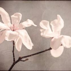 Flower photo white magnolia home decor big wall art 20x30&amp;quot; print