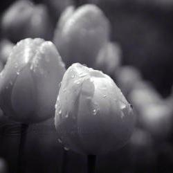 Tulip photo flower close up black &amp; white raindrops 8x10&amp;quot; print