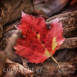 "Season Photo, fall photo, red leaf, warm colors, 10x10"" print"