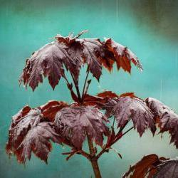 Rain photo spring raindrops maple home decor teal 8x10&amp;quot; print
