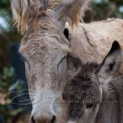 "Animal photo donkey family baby close up 8x12"" print"